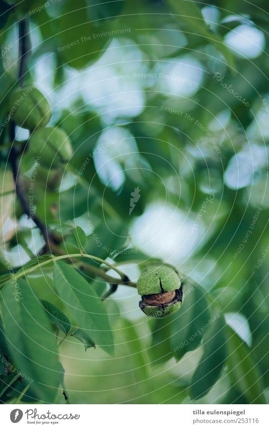 nussig. Natur Baum Blatt natürlich grün Walnuss Walnussblatt Hülle Zweige u. Äste Unschärfe Pflanze Farbfoto Außenaufnahme