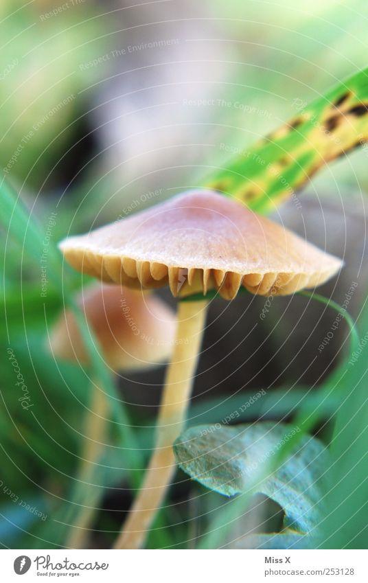Pilzlein Umwelt Natur Herbst Pflanze Gras Blatt Wiese Wachstum klein Farbfoto mehrfarbig Makroaufnahme Menschenleer Schwache Tiefenschärfe