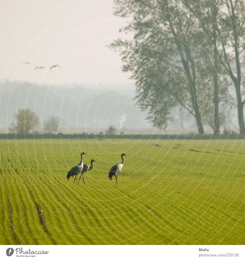 [Linum 1.0] Kranichtreffen Umwelt Natur Landschaft Tier Baum Feld Vogel 3 gehen stehen frei hell natürlich Freiheit Zugvogel Farbfoto Außenaufnahme Menschenleer