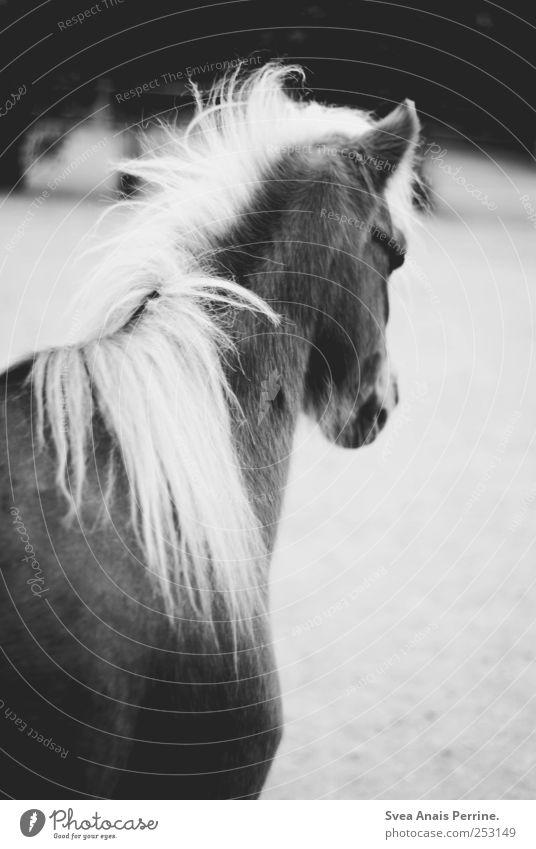 hophop. Zoo Wildtier Pferd Pferdekopf 1 Tier wild Traurigkeit Schwarzweißfoto Außenaufnahme Bewegungsunschärfe Tierporträt