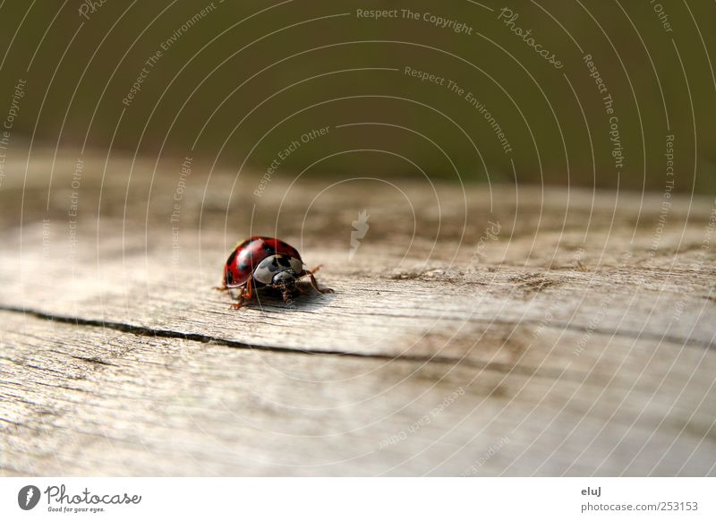 Allein unterwegs Natur Baum Käfer 1 Tier krabbeln klein niedlich Geschwindigkeit trocken grau grün rot schwarz Baumstamm Marienkäfer wandern Entdeckung Punkt
