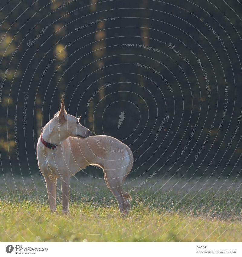 schlank Tier Park Wiese Haustier Hund 1 stehen grau grün Blick Mischling dünn Farbfoto Außenaufnahme Menschenleer Textfreiraum rechts Abend