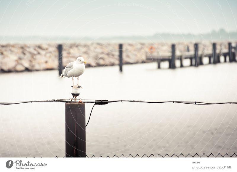 Mövenpick Meer Umwelt Tier Himmel Wolkenloser Himmel Horizont Küste Hafen Wildtier Vogel 1 warten wild Möwe Steg Zaun Pfosten Holzpfahl Anlegestelle Rostock