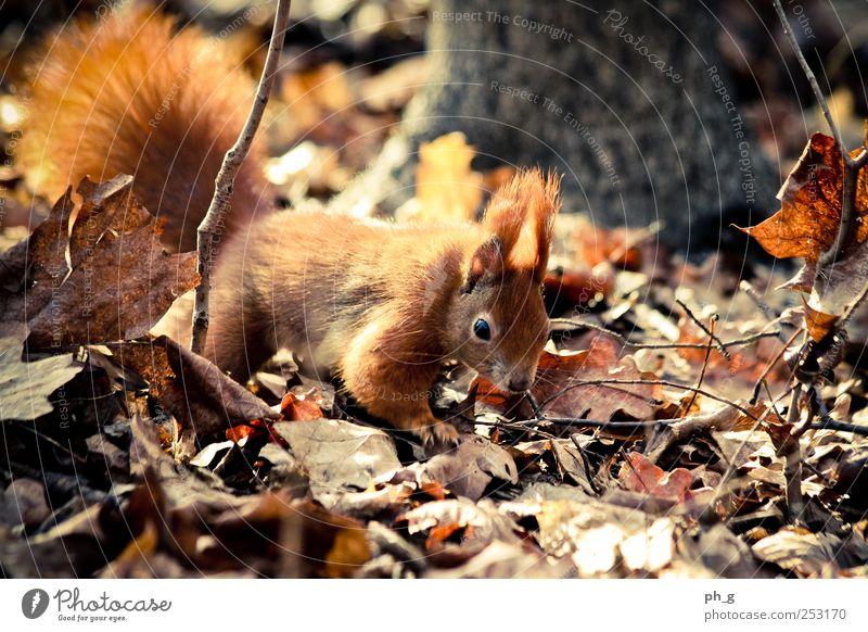 Natur Baum Blatt Tier Wald braun Wildtier beobachten Tiergesicht entdecken Schwanz krabbeln Krallen Eichhörnchen