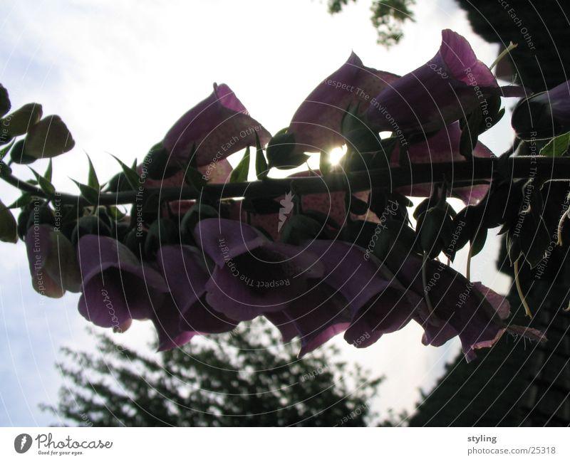 Schatten? Blume Blüte Gegenlicht Licht dunkel im schatten Lichterscheinung Beleuchtung