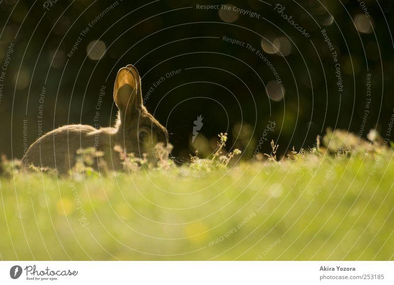 I'm watching you Natur grün Tier schwarz Gras braun sitzen glänzend Wildtier beobachten Neugier Idylle entdecken Hase & Kaninchen Haustier