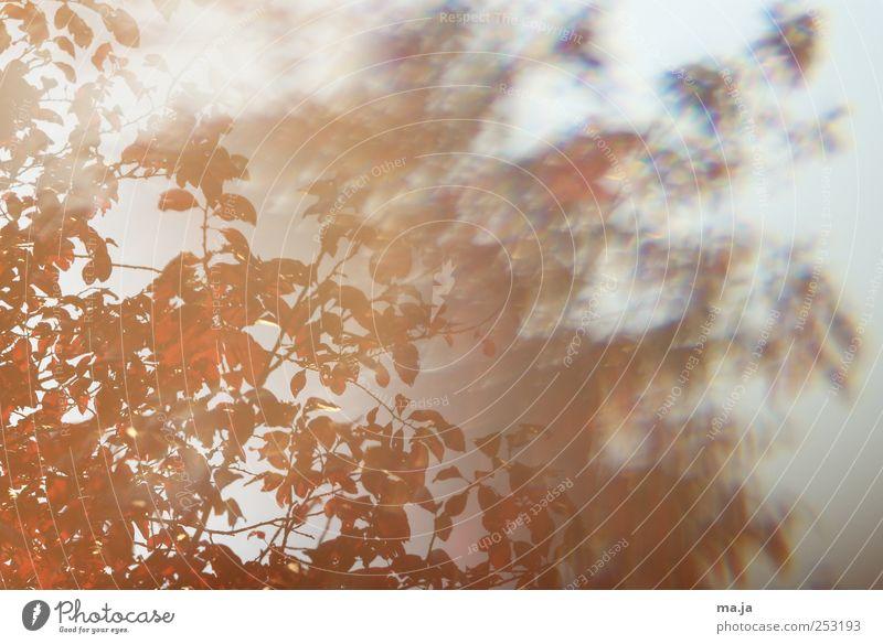 Fototapete Roter Herbst Natur Baum rot Pflanze Blatt Umwelt Holz grau