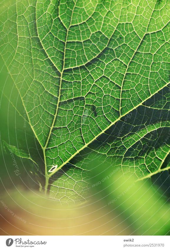 Feinripp Umwelt Natur Pflanze Blatt Nutzpflanze Zucchini Blattadern dünn authentisch nah natürlich grün orange Design Leben leuchtende Farben leuchtend grün