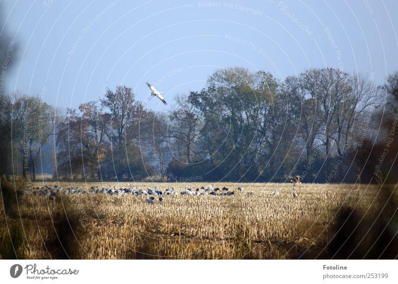 [Linum 1.0] Kranichsammelstelle Himmel Natur Baum Pflanze Tier Herbst Umwelt Vogel Feld fliegen natürlich Wildtier Flügel Schwarm Wolkenloser Himmel