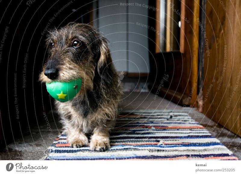 Wurzi und der Ball Spielen Innenarchitektur Dekoration & Verzierung Teppich Tür Tier Haustier Hund Tiergesicht Fell Pfote Dackel Rauhaardackel Maul 1 Gummiball