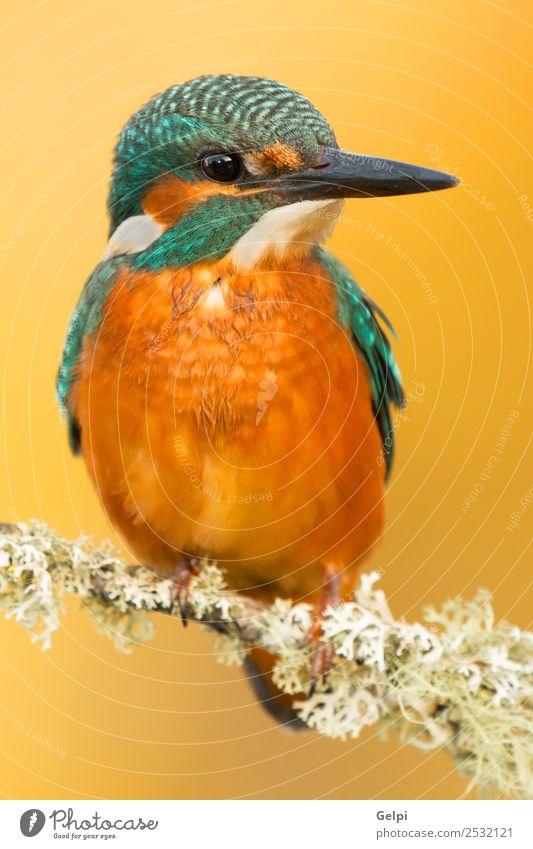 Eisvogel sitzt auf einem Ast in seinem natürlichen Lebensraum. exotisch schön Erwachsene Umwelt Natur Tier Park Vogel beobachten wild blau grün weiß Farbe