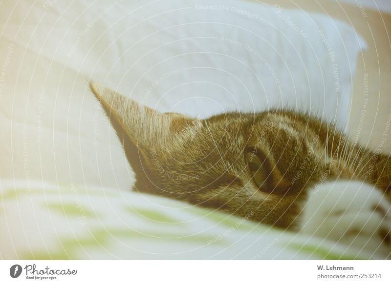 Sleep and Love you... Haustier Katze Tiergesicht 1 schlafen Freundlichkeit grün Gefühle Glück Hauskatze Bett Farbfoto Innenaufnahme Menschenleer Morgen