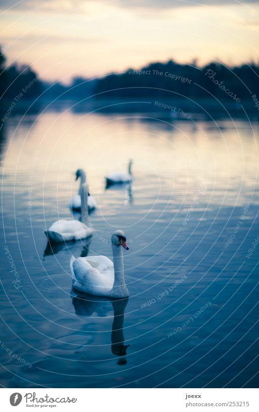 Odette Himmel Natur Tier Wolken ruhig See Schwimmen & Baden Romantik Idylle Teich Schwan Vogel Schwanensee