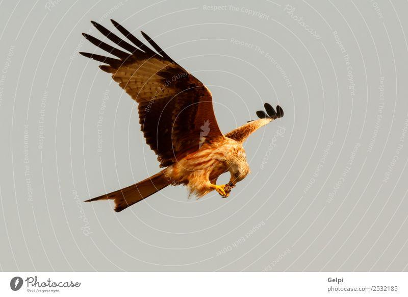 Fantastischer Raubvogel auf dem Flug mit dem Himmel im Hintergrund Natur Tier Vogel Flügel fliegen Geschwindigkeit wild blau gold weiß Tierwelt Raptor Raubtier
