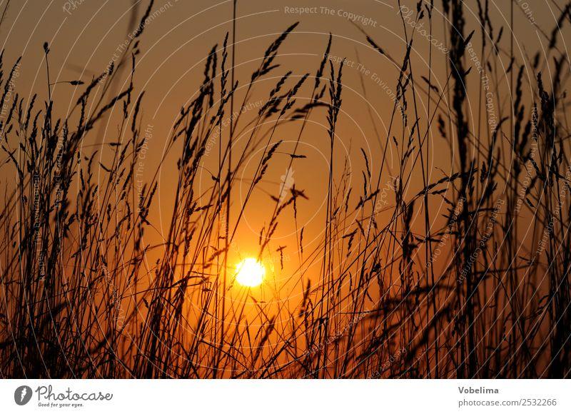Gräser mit Abendsonne Sonne Natur Wolkenloser Himmel Sonnenaufgang Sonnenuntergang Sonnenlicht Sommer Pflanze Gras Wiese Gefühle Romantik Abenddämmerung