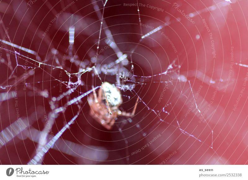 Im Netz Tier Spinne Spinnennetz Insekt 1 Netzwerk glänzend Jagd authentisch außergewöhnlich bedrohlich Ekel gruselig nah braun rot schwarz weiß Gefühle
