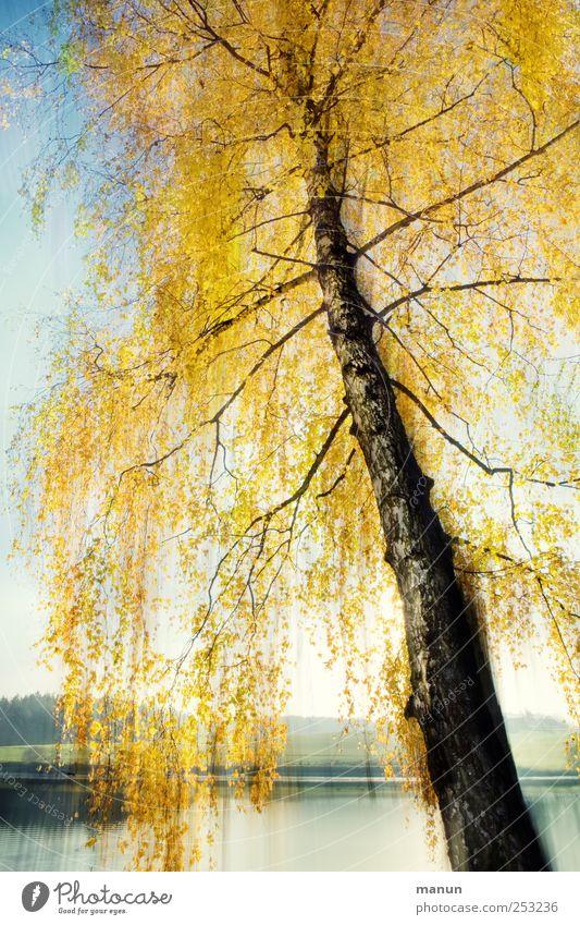 Birkenherbst Natur Herbst Baum Herbstfärbung Herbstbeginn herbstlich Seeufer außergewöhnlich gold ruhig Surrealismus Farbfoto Außenaufnahme abstrakt