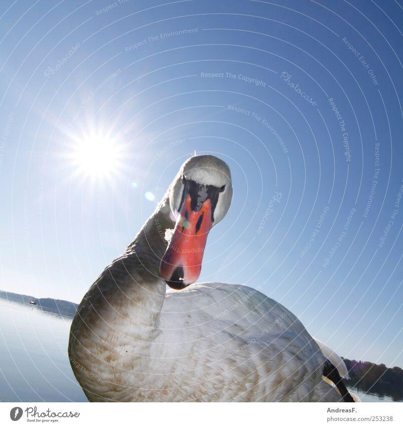 Mein Freund der Schwan Natur Wasser blau Sonne Sommer Tier Umwelt Park Vogel Wut Seeufer Schnabel Aggression beißen schnappen