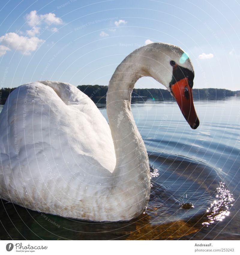 Schwanensee Umwelt Natur Landschaft Tier Wasser Himmel Sonne Sommer Herbst Park Seeufer Flussufer Vogel 1 Schwimmen & Baden Idylle Farbfoto mehrfarbig