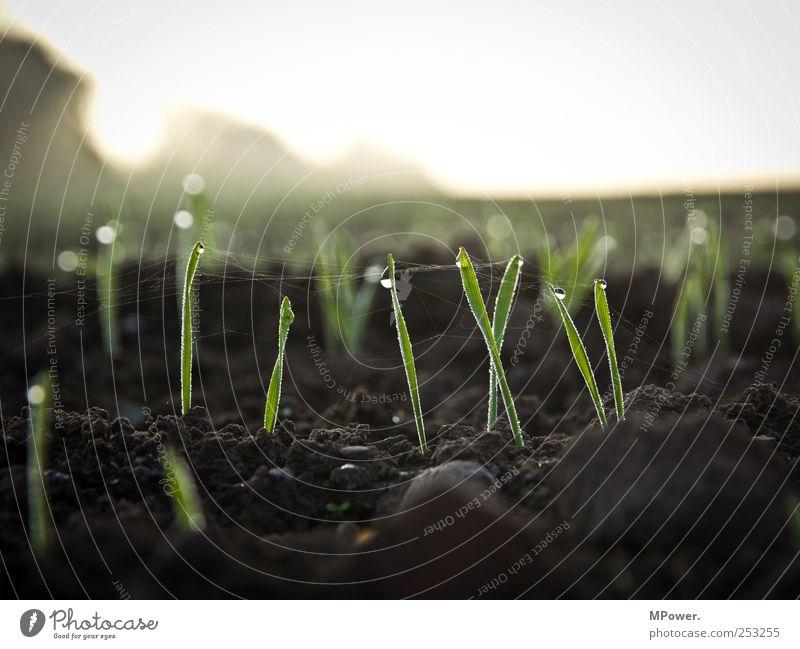 sprießen Natur Landschaft Erde Wassertropfen Himmel Horizont Herbst Wetter Pflanze Gras Nutzpflanze Wachstum braun grün Stil Halm Spinnennetz Feld Nebel Tau