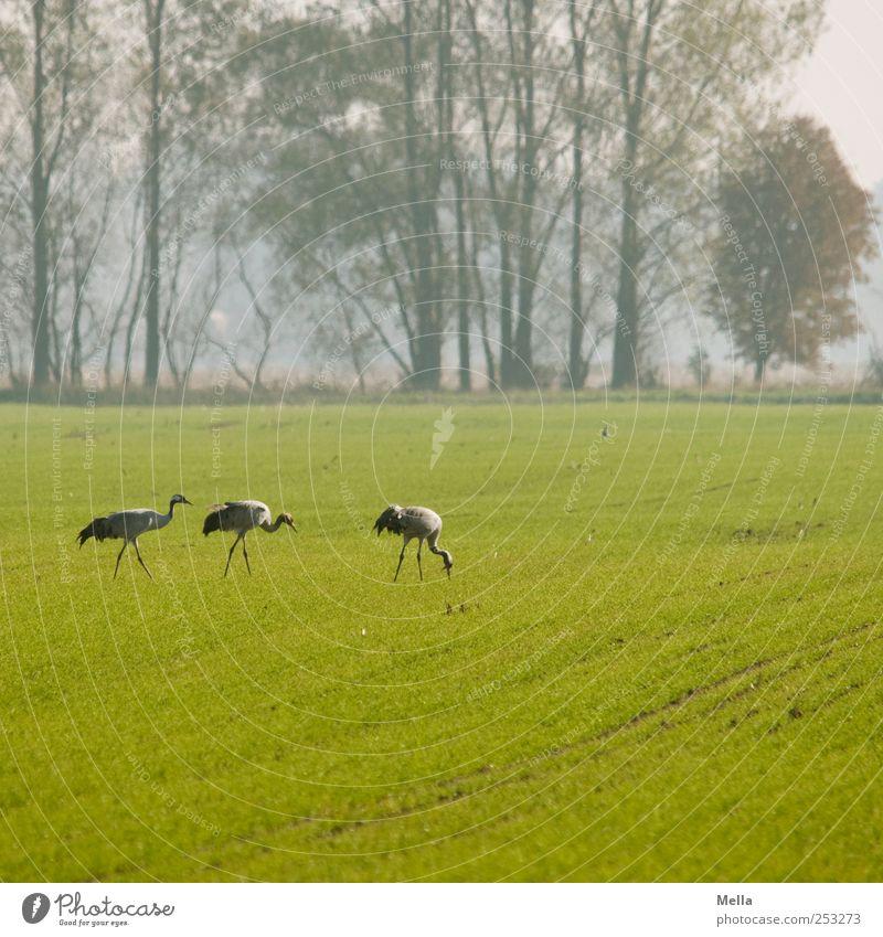 [Linum 1.0] Fressplatz Umwelt Natur Landschaft Tier Wiese Feld Vogel Kranich Zugvogel 3 Fressen gehen stehen frei Zusammensein natürlich grün Freiheit Farbfoto