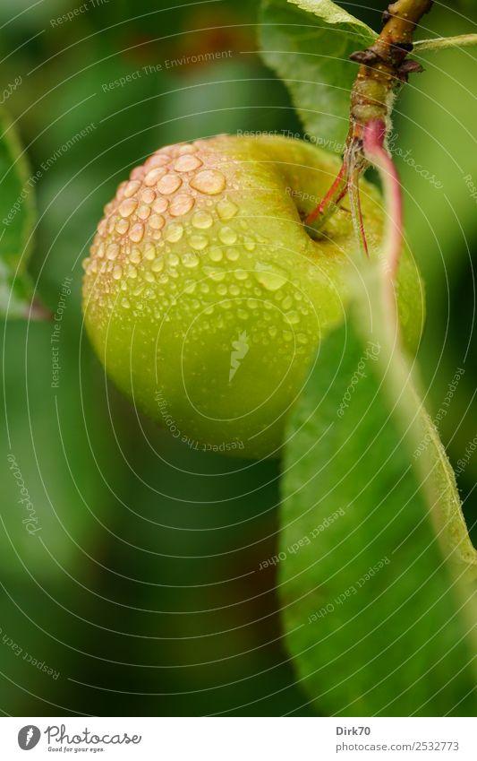 Taufrisch: Apfel am Baum mit Wassertropfen. Frucht Ernährung Diät Snack Vitamin Gesundheit Gesunde Ernährung Sommer Zweig Apfelbaum Apfelbaumblatt Obstbaum