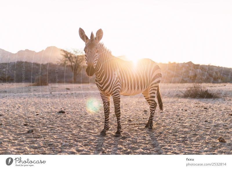 Zebra im Gegenlicht bei Sonnenuntergang Natur Landschaft Tier Stimmung Kopf Wildtier Romantik Abenddämmerung Afrika Säugetier Wildnis Atmosphäre Safari Steppe