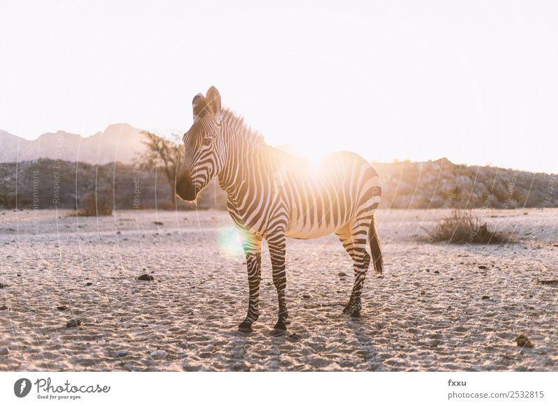 Zebra im Gegenlicht bei Sonnenuntergang Wildtier Afrika Tier großwild Wildnis Säugetier Kopf Natur Südafrika Safari Stimmung Savanne Silhouette Romantik Steppe