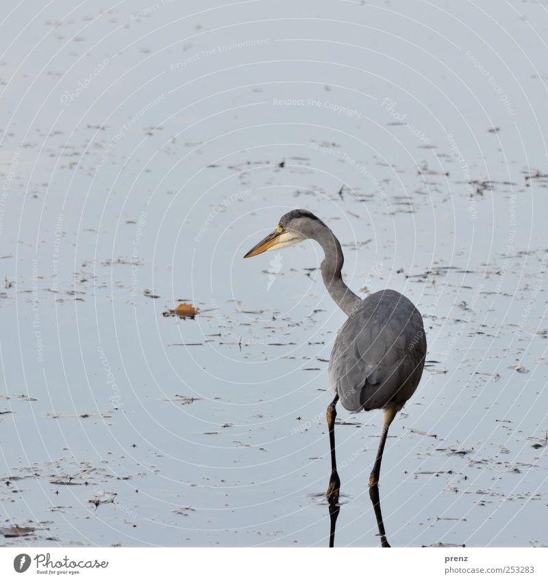 warten auf fisch Teich See Tier Wildtier Vogel 1 Wasser Blick stehen blau grau Reiher Graureiher Blatt Küste Außenaufnahme Menschenleer Textfreiraum links