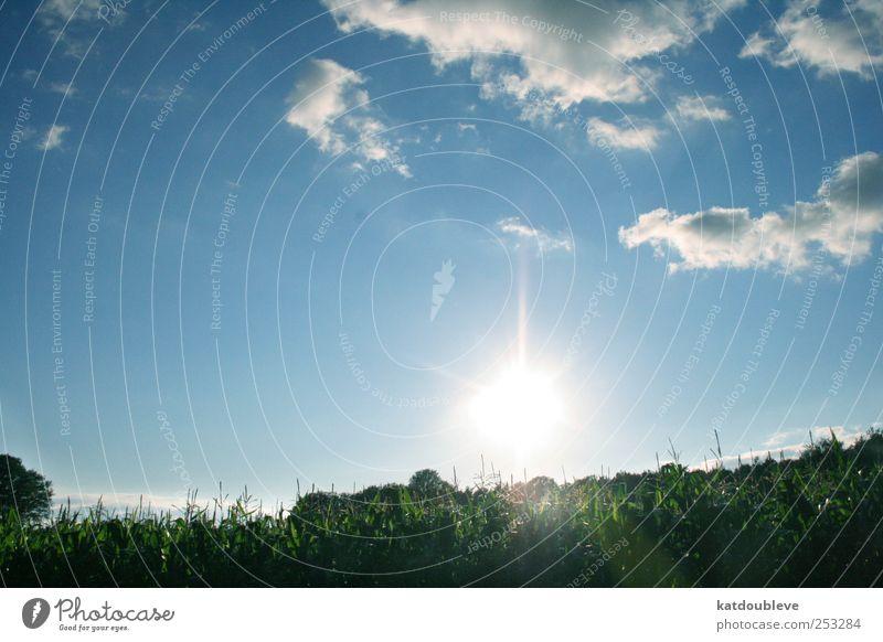 le champ de maïs Umwelt Natur Pflanze Himmel Wolken Sommer Nutzpflanze blau grün weiß Farbfoto Außenaufnahme Menschenleer Abend Licht Lichterscheinung