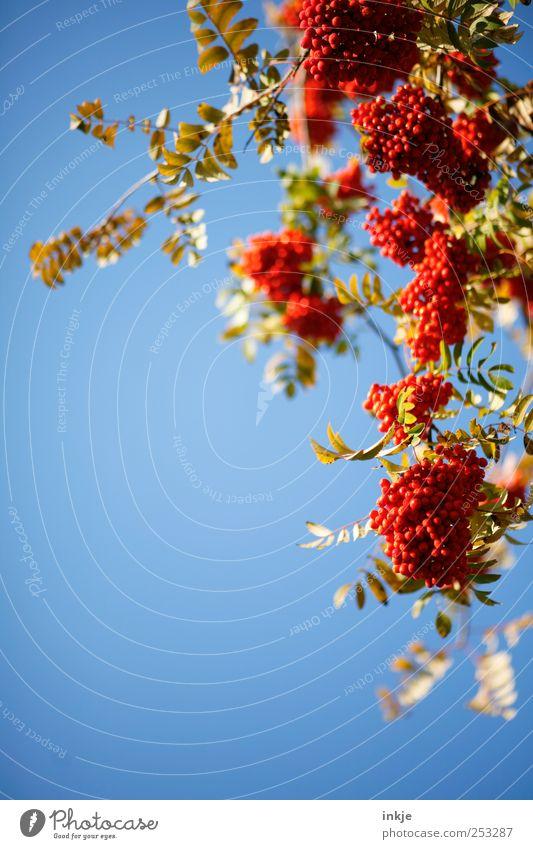 Vogelbeeren en masse Erntedankfest Natur Pflanze Wolkenloser Himmel Herbst Baum Sträucher Blatt Wildpflanze Vogelbeerbaum Ebereschenblätter Frucht hängen frisch