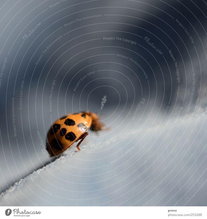 Bergsteiger Wildtier Käfer 1 Tier krabbeln blau rot schwarz Marienkäfer Neigung Makroaufnahme Farbfoto Außenaufnahme Nahaufnahme Textfreiraum rechts
