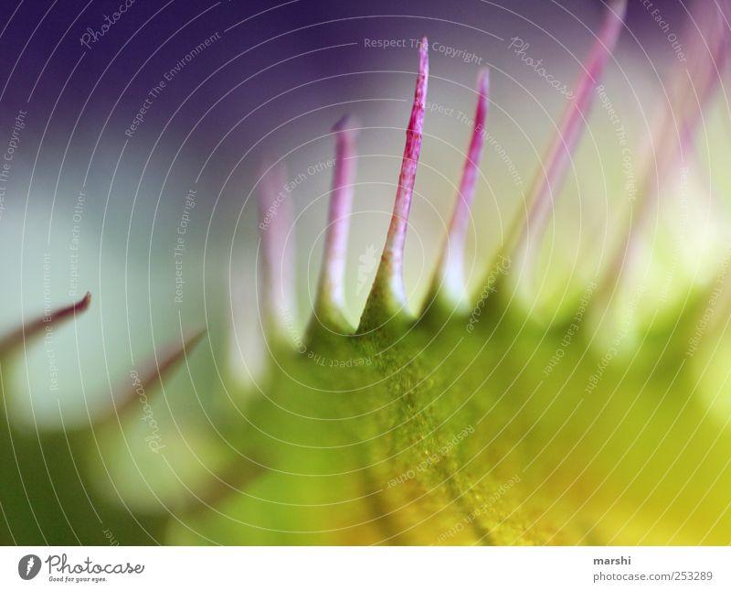 Vorsicht geboten! Pflanze Spitze Venusfliegenfalle grün Stachel exotisch Botanik abstrakt Farbfoto Innenaufnahme Nahaufnahme Detailaufnahme Makroaufnahme