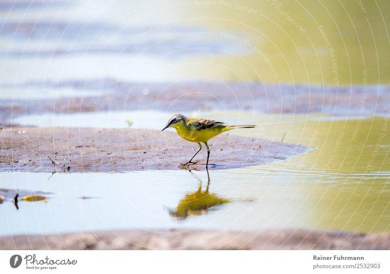 """eine Schafstelze sucht im flachen Wasser nach Nahrung Tier Vogel """"Schafstelze Motacilla flava"""" 1 Fressen Jagd Natur """"Wildvogel Deutschland Barnim Brandenburg"""