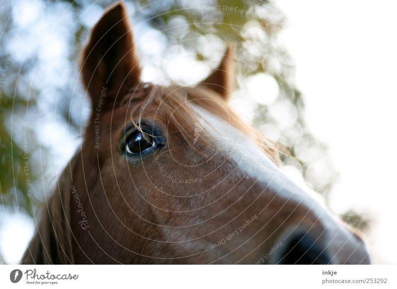 Ich habe Angst vor Pferden... Wiese Pony Tier Nutztier Tiergesicht Pferdekopf Pferdeauge Pferdeohr Mähne Ponys Warmblut Fellfarbe 1 hören Blick stehen schön nah