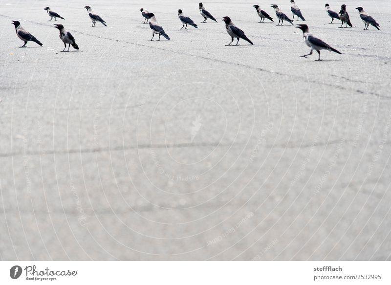 Alle Dohlen fliegen hoch Flughafen Straße Autobahn Tier Wildtier Vogel Tiergruppe Schwarm beobachten bedrohlich hell trocken grau Zusammensein ruhig Flugangst