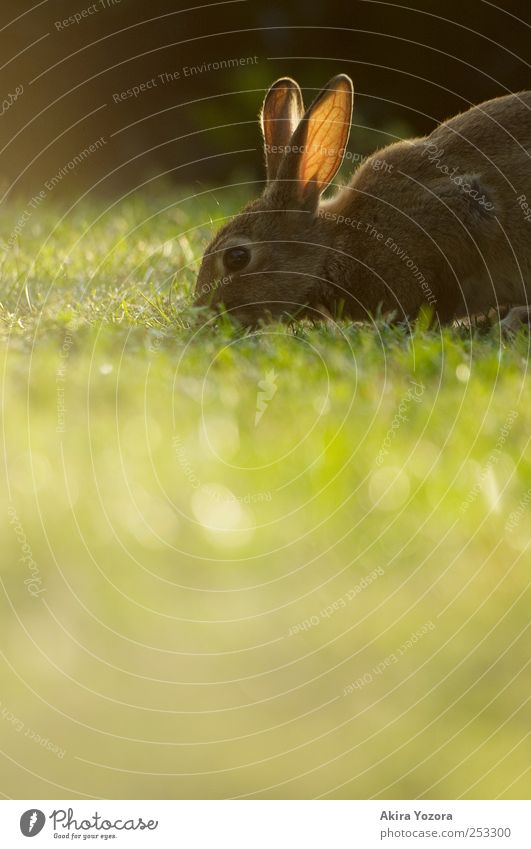 Natürlicher Rasenmäher Natur Gras Wiese Tier Haustier Wildtier Hase & Kaninchen 1 füttern natürlich braun grün schwarz Farbfoto Außenaufnahme Menschenleer