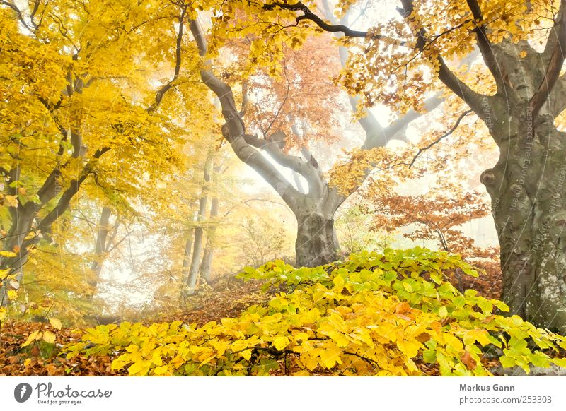 Herbstwald Natur grün Baum Pflanze Blatt Wald gelb Wetter braun gold Nebel natürlich herbstlich Laubbaum Märchenwald