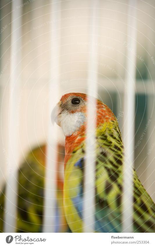 Eier aus Käfighaltung Tier Haustier Vogel Tiergesicht sitzen mehrfarbig gelb rot weiß Platzangst Verzweiflung Einsamkeit träumen Vogelkäfig gefangen