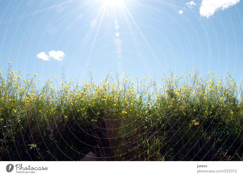 Summer Himmel Natur grün Pflanze Sonne Sommer ruhig Leben Gefühle Gras Glück Fröhlichkeit leuchten Warmherzigkeit Blühend Lebensfreude