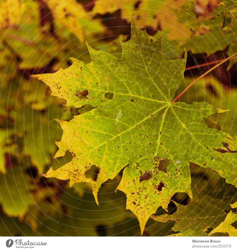 Ahornblatt Natur Baum gelb grün rot Herbst Herbstlaub Blatt Herbstfärbung Farbe Farbenspiel Jahreszeiten natürlich Stillleben Äderchen geädert Loch Leben Tod