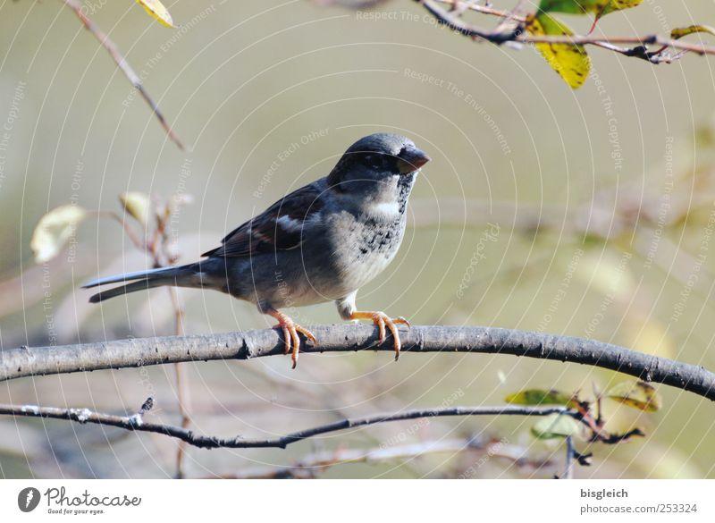 Wenn ich ein Vöglein wär ... Tier Vogel Krallen Feder Schnabel 1 sitzen braun grau grün Farbfoto Gedeckte Farben Außenaufnahme Menschenleer Tag