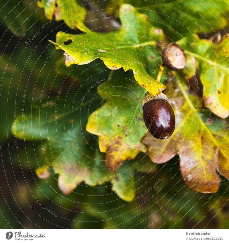 Herbstglanz harmonisch Sinnesorgane Landwirtschaft Forstwirtschaft Natur Pflanze Baum Duft Eiche Eicheln Eichenblatt Eichenwald Ernte reif herbstlich