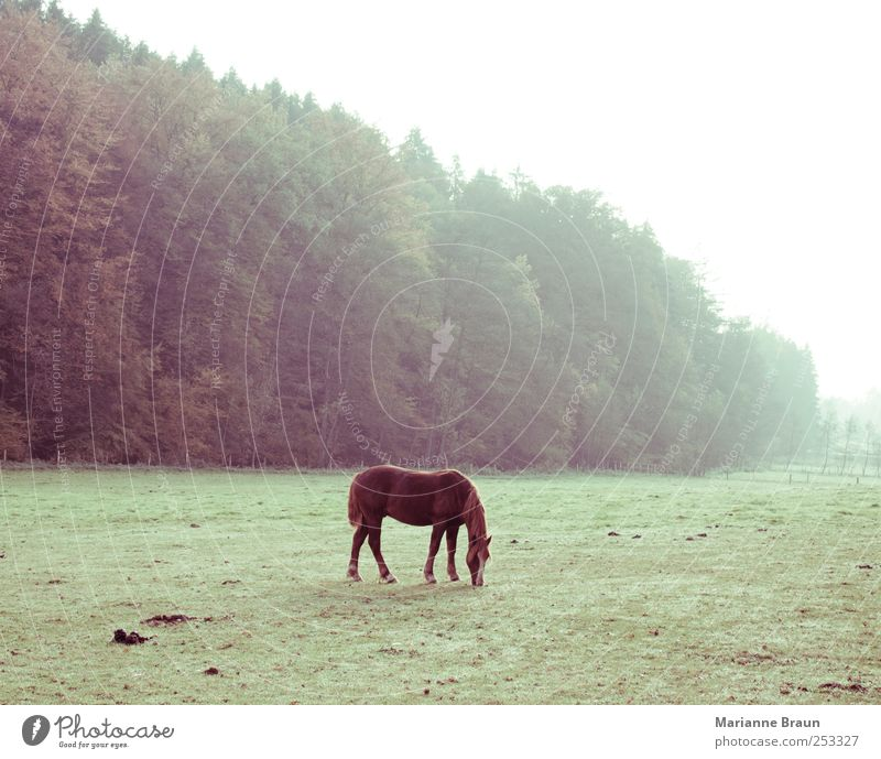 Im Freien Natur Nutztier füttern braun grün Pferd Weide Fressen Gras Landschaft Jahreszeiten Herbst November Niederschlag Nebel Morgennebel Tier Fohlen