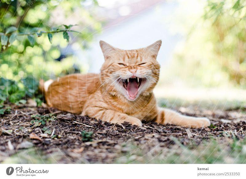 Zähne zeigen Wohlgefühl Zufriedenheit Erholung ruhig Freizeit & Hobby Sommer Natur Pflanze Erde Schönes Wetter Sträucher Garten Tier Haustier Katze Tiergesicht