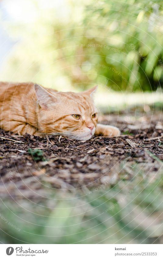 Kater wacht auf Katze Natur Pflanze schön Erholung Tier ruhig Lifestyle Wärme Garten orange Zufriedenheit Freizeit & Hobby Erde liegen authentisch