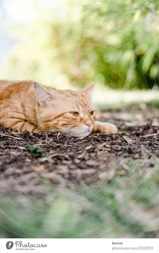 Kater wacht auf Lifestyle harmonisch Erholung ruhig Freizeit & Hobby Natur Pflanze Erde Schönes Wetter Wärme Sträucher Garten Tier Haustier Katze Tiergesicht