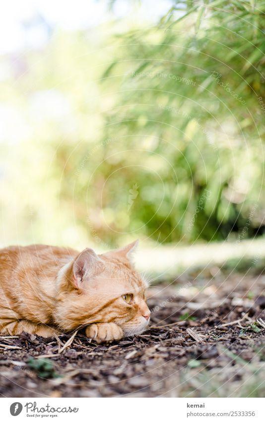 Kater macht Pause und denkt ein bißchen Katze Natur schön Erholung Tier ruhig Lifestyle Wärme Garten orange Denken Freizeit & Hobby träumen Erde liegen