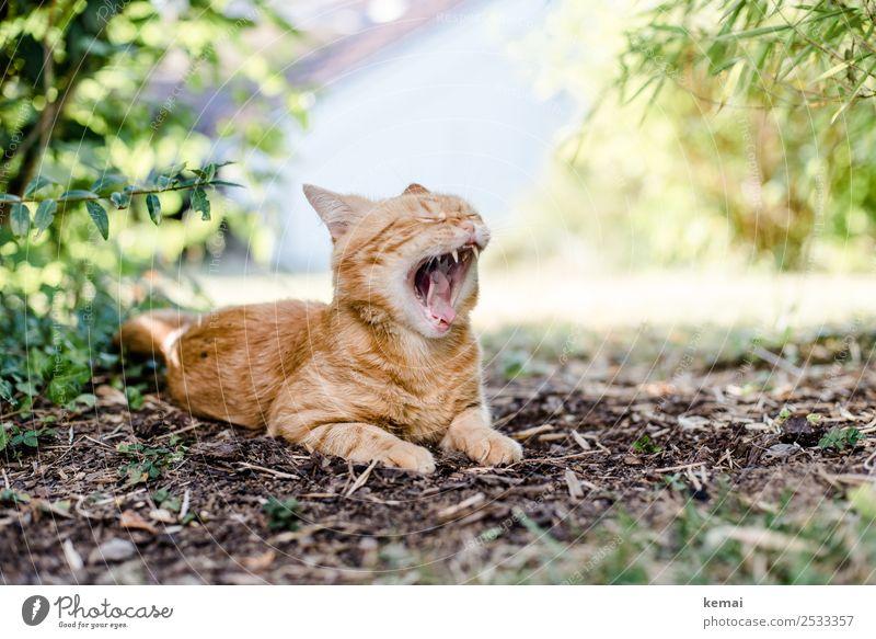 Gähnen Wohlgefühl Zufriedenheit Erholung ruhig Freizeit & Hobby Natur Erde Sommer Schönes Wetter Pflanze Gras Sträucher Garten Park Tier Haustier Katze