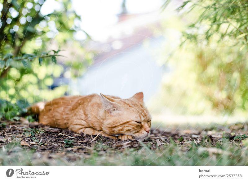 Kater schläft ein Lifestyle harmonisch Wohlgefühl Zufriedenheit Erholung ruhig Freiheit Sommer Sonne Landschaft Pflanze Schönes Wetter Wärme Sträucher Garten